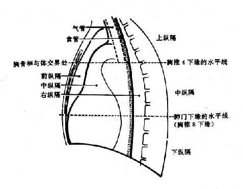医学影像学/肺与纵隔的正常x线表现