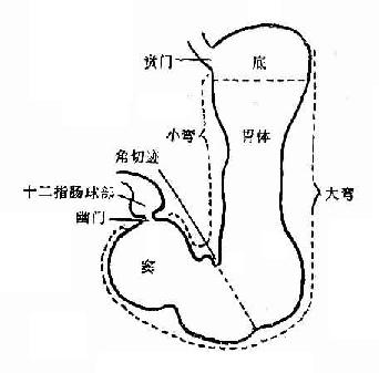 胃在哪个位置图解
