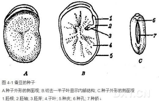 一、实验目的 了解种子的基本构造和幼苗的形态。 二、实验原理 种子在植物学上属于繁殖器官,它和植物繁衍后代有着密切联系。植物界的所有种类并不都是以种子进行繁殖的,只有在植物界系统发育地位最高、形态结构最为复杂的一个类群——种子植物才能产生种子。种子植物名称的由来,也正反映了这一特点。种子又是种子植物的花在完成开花、传粉和受精等一系列有性生殖过程后产生的,是有性生殖的产物,所以和花的结构密切相关。种子植物的生活是依赖于根、茎、叶三种营养器官的生理作用来维持的,从植物的个体发育而言,早