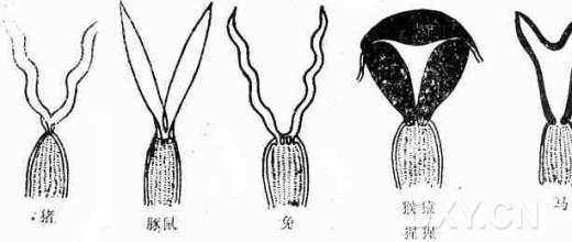 1.乳腺分布特点 常用实验动物乳腺分布特点见图1。  图1 常用实验动物乳腺分布特点 2.子宫结构特点 家兔的子宫属于双子宫型,是由一对几乎独立的、游离的子宫弯曲而成,两个子宫各有一个子宫颈分别与同一个阴道相通,即两个子宫的子宫颈共同开口于同一个阴道。所以,兔的子宫无所谓子宫角或子宫体,只是一对筒状结构,每只长度平均约7厘米,宽约3-4mm,但妊娠后期的子宫,在腹腔内可以扩展到很大的范围。 啮齿类动物的子宫均属双子宫型。其中,大白鼠的子宫呈Y字形排列,左左两个子宫颈开口于共同阴道和家兔的子宫一样,属于双子