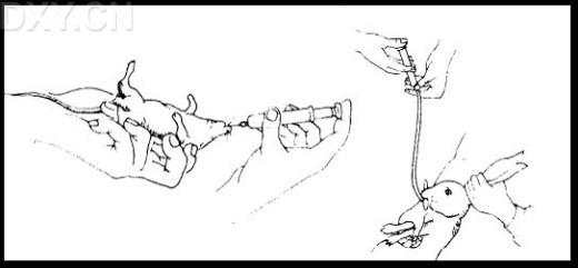 实验小鼠简笔画