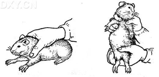 >>所属分类 >> 动物学实验技术   3,豚鼠的捉拿,固定  豚鼠胆小易惊