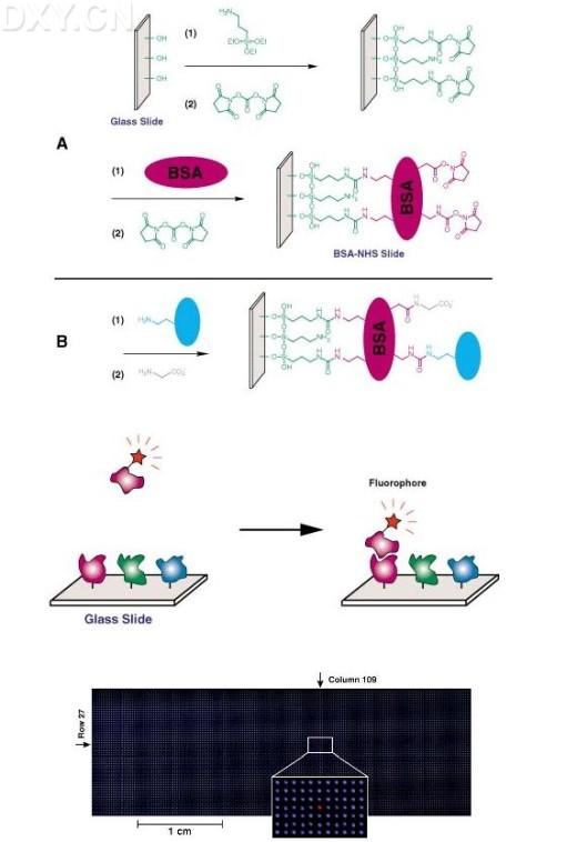 蛋白质芯片