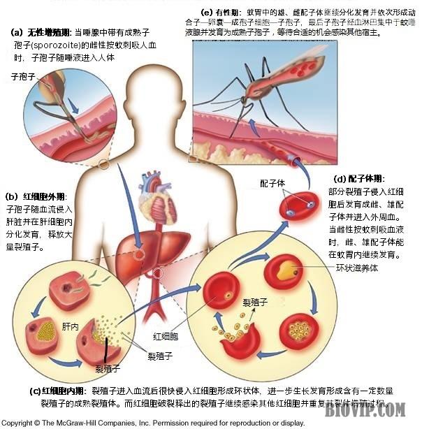 恶性疟原虫雄配子手绘图
